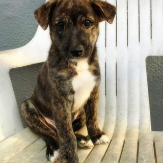 生後2か月  琉球犬MIX仔犬