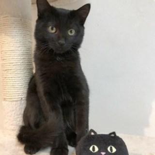 【10/21東日本橋】美麗な黒猫♡キキちゃん