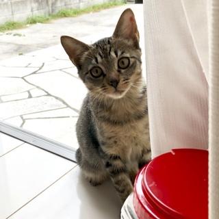 愛くるしいキジ猫ちゃん!里親募集