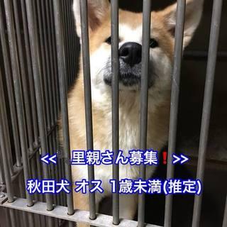 1歳未満の秋田犬(男の子)を家族に迎えて下さい。