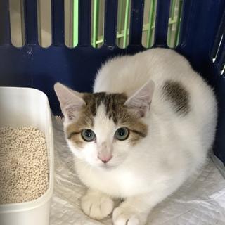 延長中!神秘的な瞳の可愛いキジ白柄の子猫♡