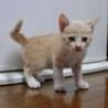 生後7週間目の子猫の里親様を募集しています。