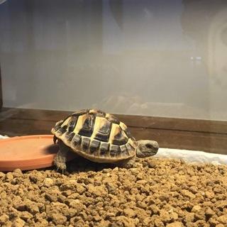 ヘルマンリクガメ  子亀