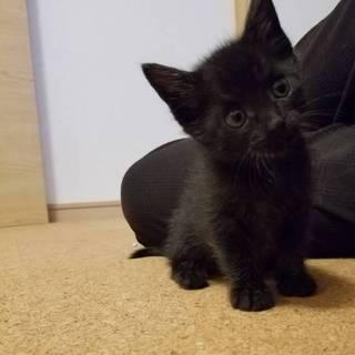 可愛い黒猫子猫の里親さん募集