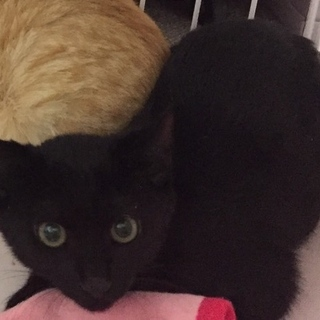 ピカピカ黒猫・目が金色・女の子顔の男の子♪2ヶ月半