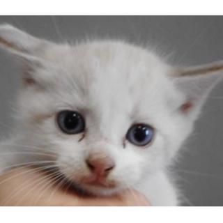 里親様を待っています。子猫♂白灰