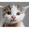 里親様を待っています。子猫♀白茶黒