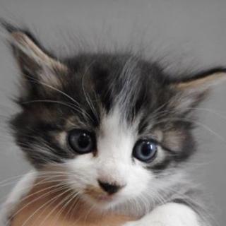 里親様を待っています。子猫♀白黒灰