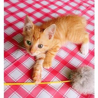 【里親様が見つかりました】可愛い子猫です