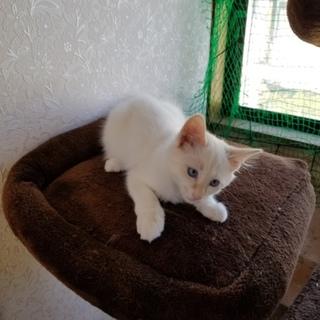 長毛の白猫 ブルーアイ オス