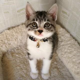 三角まゆげのキジ白子猫☆まゆげ君