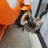 麦わら猫ちゃんの里親様募集中です サムネイル4