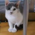 白グレー子猫 パクくん