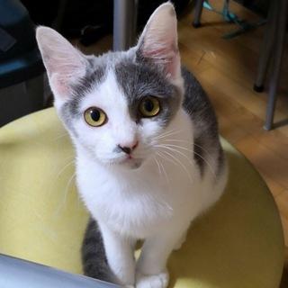 白グレー子猫 ミクちゃん