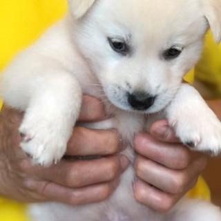 ふわふわあったかい子犬の男の子ポッキー家族募集中!