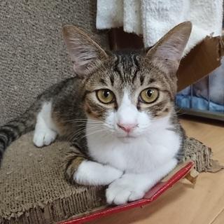 ごろごろすり寄ってくれます☆洋猫MIXの子猫
