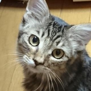 洋猫MIXの女の子