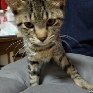 2~3ヶ月のキジ猫の子猫(ФωФ)