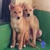 犬舎満員『野犬3ヶ月位の子犬』男のコ♂