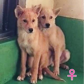 犬舎満員『野犬3ヶ月位の子犬』女のコ♀