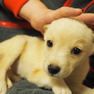 生後2か月1.2キロ 豆柴サイズ予想仔犬