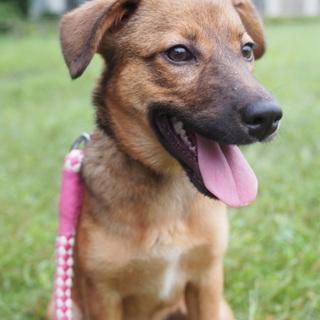 生後6か月 シェパードMIX10キロ仔犬