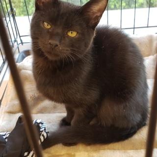甘えん坊のやんちゃ坊主、黒猫マクロです。