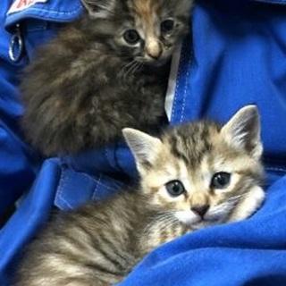 可愛い三毛子猫姉妹