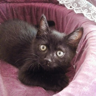 インスタ映えする黒猫かわいいフーフー3カ月