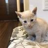 可愛い子猫☆保護猫☆ミルクティー色
