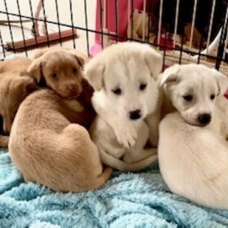 638~644生後一か月の可愛い子犬7兄妹います。