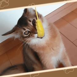 初めて猫じゃらしで遊ぶうちのソマリです