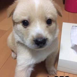 ☆652 一か月の可愛い子犬