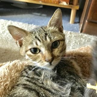 住宅街に捨てられたキジ子猫
