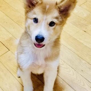 2ヶ月ぐらいの子犬!イケワン甘えん坊の甘栗くん