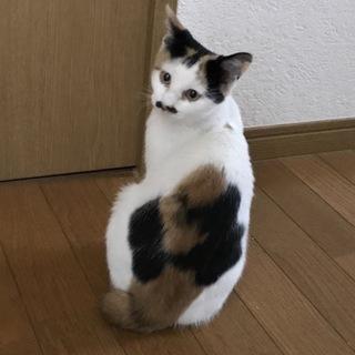 三毛猫の女の子です^ ^ トイレしつけ◎