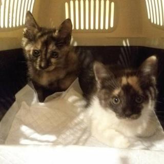 サビとムギワラの姉妹子猫たち