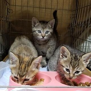 キジ猫ちゃん3姉妹です!
