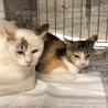 処分間近!可愛い三毛猫姉妹のおうちを探しています。