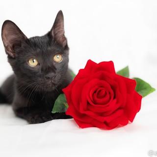元気で懐こい黒猫 黒ピーくん