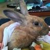 急募!茶色ウサギちゃんの里親さま