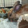 急募!茶色ウサギちゃんの里親さま サムネイル5