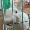 急募!白いウサギちゃんの里親さま