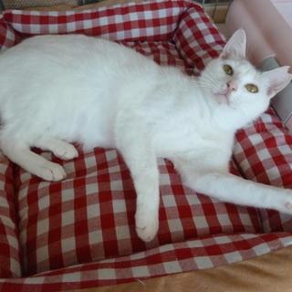 尻尾がキュートな白三毛、ナデナデ大好き♪