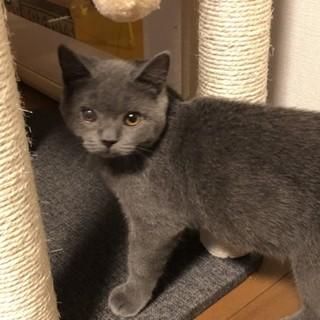純血のブリティッシュショートヘアの子猫です。