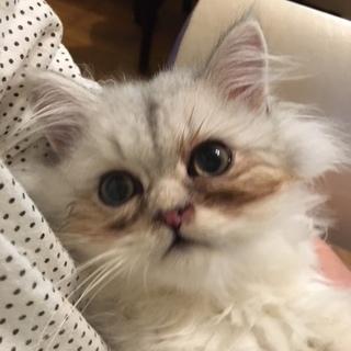 純血のチンチラシルバーの子猫です。