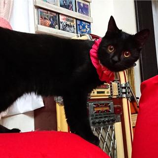 ハンディ超甘えた黒猫☆マルコちゃん 1才