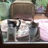 チョビ髭の元気兄弟子猫です サムネイル4