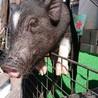 ミニ豚 30年3月14日生まれ