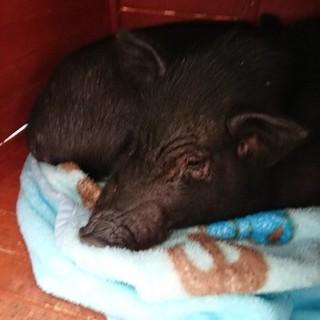 ミニ豚 28年12月8日生